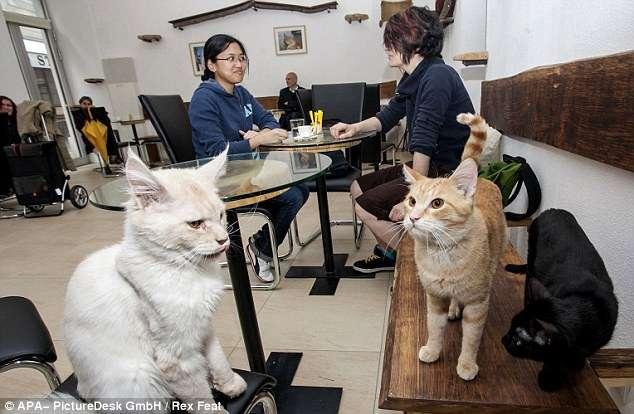 article21461211305611c0 - En Viena abren el primer café para gatos de Europa